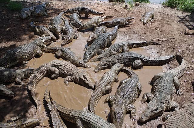 Крокодиловая ферма на Кубе